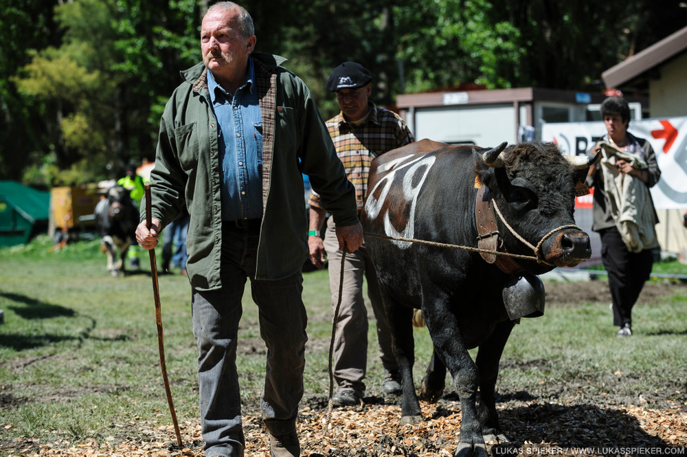 An breeder leads his cow to the fightings at the National Herens Cow Festival on May 5, 2012 in Aproz in the Alpine Canton of Valais, Switzerland.