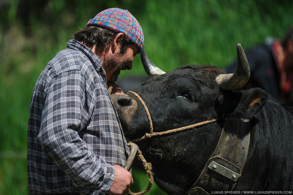 An owner reacts to his cow before a cow combat at the National Herens Cow Festival on May 5, 2012 in Aproz in the Alpine Canton of Valais, Switzerland.