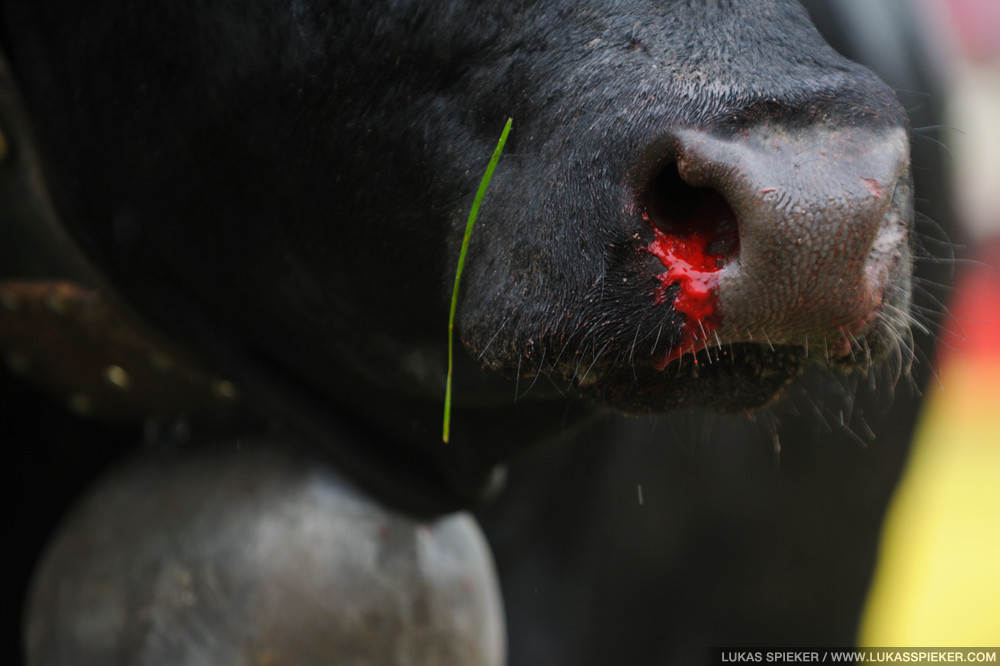 A cow bleeds from the nose after a fight for the title of the Queen of Cows at the National Herens Cow Festival on May 6, 2012 in Aproz, Switzerland.